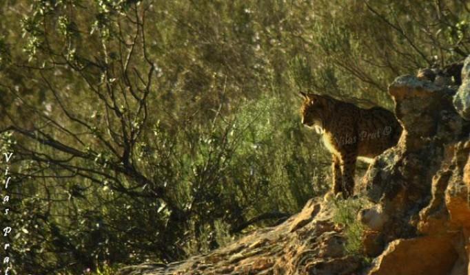 Lynx Wildwatching Tour