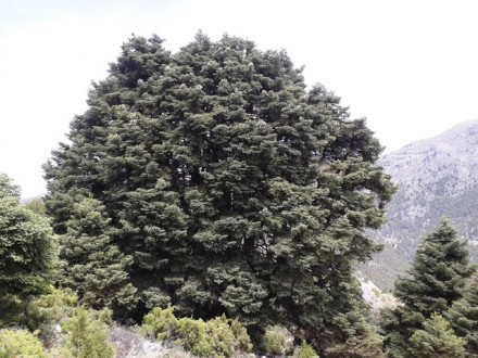 árbol Pinsapo