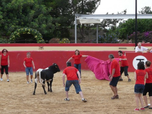 Bullfight with young bulls