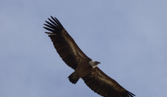 griffonvulture