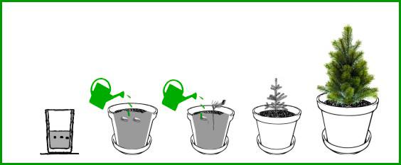 Planta un pinsapo for Pasos para sembrar una planta