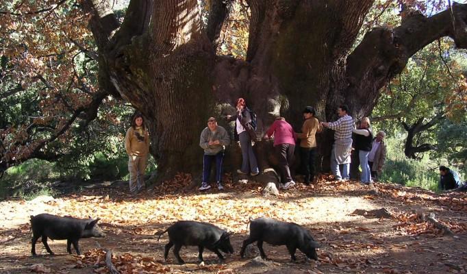 Holy Chestnut Tree