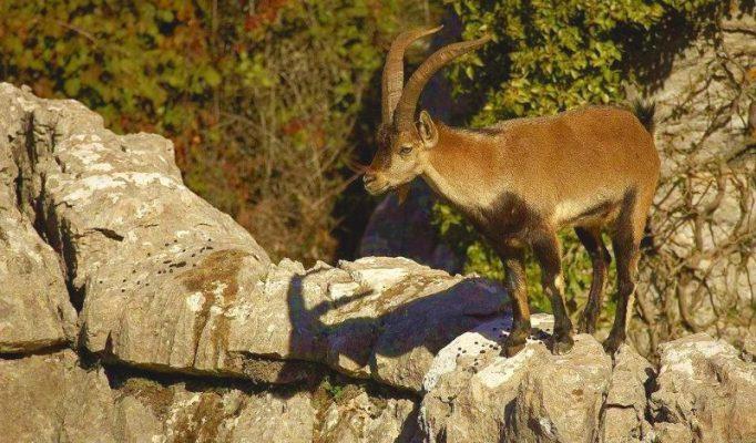 wild goat costa del sol